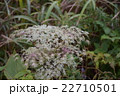 三瓶山に咲く山草 22710501