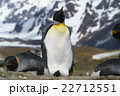 オウサマペンギン キングペンギン ペンギンの写真 22712551