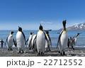 オウサマペンギン キングペンギン ペンギンの写真 22712552