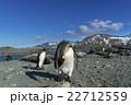 オウサマペンギン キングペンギン サウスジョージア島の写真 22712559