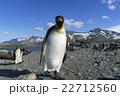 オウサマペンギン キングペンギン サウスジョージア島の写真 22712560