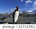 オウサマペンギン キングペンギン サウスジョージア島の写真 22712561