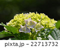 紫陽花 ハイドランジア 七変化の写真 22713732