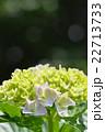 紫陽花 ハイドランジア 七変化の写真 22713733