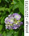 紫陽花 ハイドランジア 七変化の写真 22713735