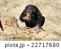 動物 類人猿 チンパンジーの写真 22717680