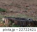 キクイタダキ 22722421