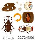 カブトムシの成長サイクル 22724350