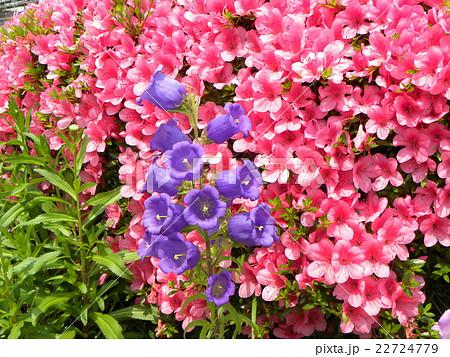 ツツジをバックに釣鐘のような青と白の花はカンパニュラ 22724779