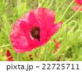 オニゲシ 花 一年草の写真 22725711