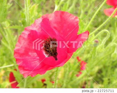 オニゲシの赤い綺麗な花 22725711