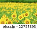 ひまわり 向日葵 ひまわり畑の写真 22725893