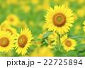 ひまわり 向日葵 夏の写真 22725894