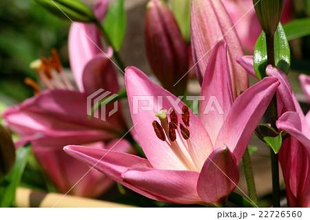 大きなピンクのユリの花のアップ 22726560