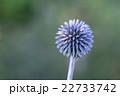 フラワー 花 あざみの写真 22733742