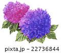 hydrangia16606pix7 22736844