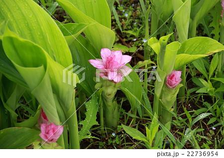 春ウコンの花 22736954