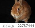 うさぎ 哺乳類 ネザーランドワーフの写真 22737444