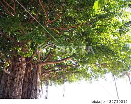 ハワイ ガジュマルの木 バニヤンツリー 22739015