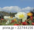 青空に白い雲とポピーの白い花 22744156