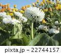 青い空をバックにデージーの白い花 22744157