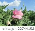 青空に白い雲と桃色のポピーの花 22744158