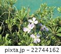 海岸に日差しを浴びた薄紫のハマダイコンの花 22744162