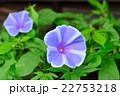 朝顔 花 開花の写真 22753218