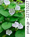 朝顔 花 開花の写真 22753227