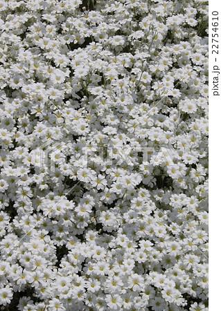 春の白い花々 22754610
