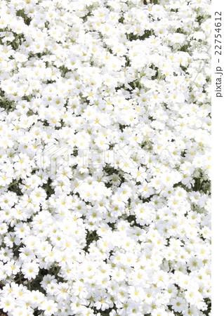 春の可憐な白い花 22754612