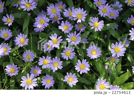 春の可憐な紫の花 22754613