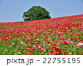 花畑 天空のポピー 秩父高原牧場の写真 22755195