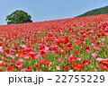 花畑 天空のポピー 秩父高原牧場の写真 22755229