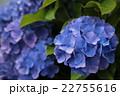 雨と紫陽花2 22755616