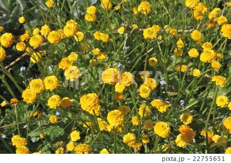 初夏のキュートな黄色い花 22755651