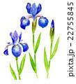 アヤメ 植物 花のイラスト 22755845