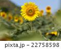 フラワー 花 ひまわりの写真 22758598