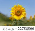 フラワー 花 ひまわりの写真 22758599
