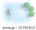 錦鯉と睡蓮の葉 22762815