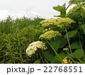 ハイドランジアアナベルというアジサイの緑色の蕾と白い雲 22768551
