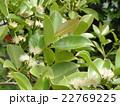 この白い花はトロピカルフルーツヒメグアバの花 22769225
