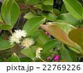 この白い花はトロピカルフルーツヒメグアバの花 22769226