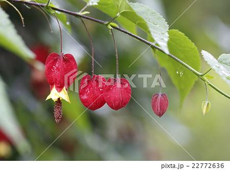 チロリアンランプの釣鐘のような赤い花 22772636