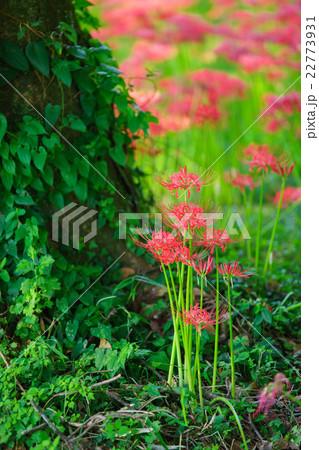 木のふもとで咲くヒガンバナ 22773931