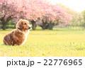 八重桜満開♪ 22776965