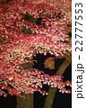 夜の紅葉狩り 22777553
