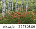 植物 花 レンゲツツジの写真 22780389