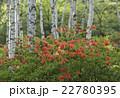 植物 花 レンゲツツジの写真 22780395