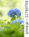 紫陽花 花 植物の写真 22780708